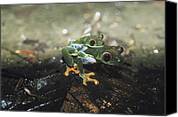 Red-eyed Frogs Canvas Prints - Two Red-eyed Tree Frogs, Agalychnis Canvas Print by Bill Curtsinger