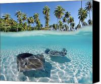 Clear Canvas Prints - Two Stingrays 1 Canvas Print by Monica & Michael Sweet - Printscapes