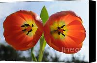 Two Red Tulips Canvas Prints - Two Tulips Canvas Print by Dan Holm
