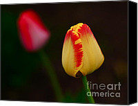 Two Red Tulips Canvas Prints - Two Tulips Canvas Print by Diane Stresing