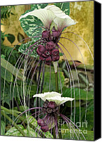 Florida Flowers Canvas Prints - Two White Bat Flowers Canvas Print by Sabrina L Ryan