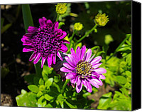 Zinna Canvas Prints - Two Zinnias Canvas Print by John  Greaves