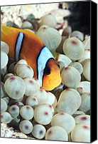 Amphiprion Bicinctus Canvas Prints - Twoband Anemonefish Canvas Print by Georgette Douwma