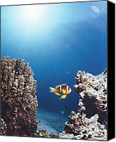 Amphiprion Bicinctus Canvas Prints - Twoband Anemonefish Canvas Print by Peter Scoones