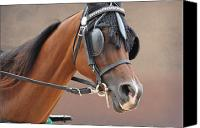 Arabians Canvas Prints - Under Harness Canvas Print by Jan Amiss Photography