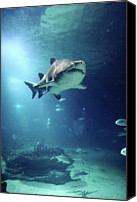 Sea Animals Canvas Prints - Underwater View Of Shark And Tropical Fish Canvas Print by Rich Lewis