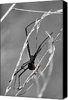 Black Widow Canvas Prints - Unmistakable  Canvas Print by JC Findley