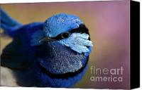 Wren Digital Art Canvas Prints - Up Close and Blue Canvas Print by Wendy Slee