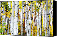 Aspen Trees Canvas Prints - Uphill Canvas Print by The Forests Edge Photography