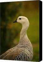 Fuego Canvas Prints - Upland Goose Portrait Canvas Print by Bruce J Robinson
