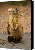 Prairie Dog Photo Canvas Prints - Utah Prairie Dog Canvas Print by James Marvin Phelps