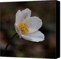 Thimbleweed Canvas Prints - Vanishing beauty 1 Canvas Print by Jouko Lehto