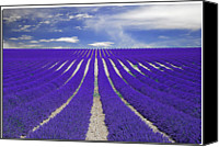 Provence Canvas Prints - Vanishing Smell -- Lavender Canvas Print by Nespyxel