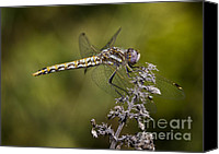 Meadowhawk Canvas Prints - Variegated Meadowhawk Canvas Print by Brian Peterson