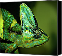 Chameleon Canvas Prints - Veiled Chameleon Canvas Print by Copyright By D.teil