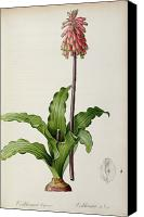 Redoute; Pierre Joseph (1759-1840) Canvas Prints - Veltheimia Capensis Canvas Print by Pierre Joseph Redoute 