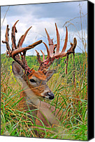 Whitetail Buck Canvas Prints - Velvet B Gone Canvas Print by Emily Stauring