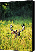 Whitetail Buck Canvas Prints - Velvet Emerging Canvas Print by Emily Stauring