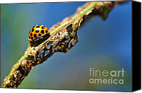 Eaten Canvas Prints - Very Hungry Ladybird Canvas Print by Kaye Menner