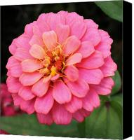 Zinna Canvas Prints - Vibrant Pink Zinna Canvas Print by Bruce Bley