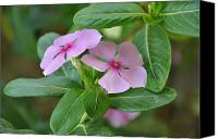 Vinca Flowers Canvas Prints - Vinca Rosea Canvas Print by Sajjad Musavi
