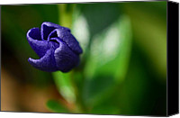Wild-flower Special Promotions - Vinca Unfolding Canvas Print by Lisa  Phillips