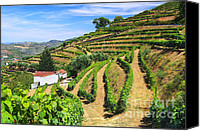 Sunny Vineyard Photo Canvas Prints - Vineyard Landscape Canvas Print by Carlos Caetano