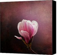 Parchment Canvas Prints - Vintage Magnolia Canvas Print by Jane Rix