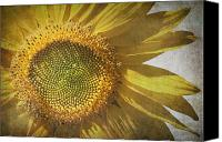 Parchment Canvas Prints - Vintage sunflower Canvas Print by Jane Rix