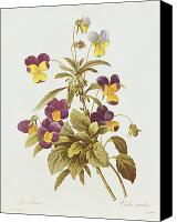 Floral Drawings Canvas Prints - Viola Tricolour  Canvas Print by Pierre Joseph Redoute 