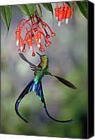 Male Hummingbird Canvas Prints - Violet-tailed Sylph Aglaiocercus Canvas Print by Michael & Patricia Fogden