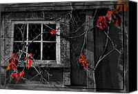 Barn Windows Canvas Prints - Virginia Creeper Canvas Print by Thomas Schoeller