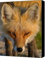 Nature Photo Canvas Prints - Vixen Canvas Print by William Jobes