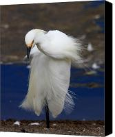 Snowy Egrets Canvas Prints - Vogue Canvas Print by Wingsdomain Art and Photography