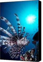 Lionfish Canvas Prints - Volitan Lionfish Canvas Print by Steve Rosenberg - Printscapes