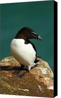 Razorbill Photo Canvas Prints - Waiting for Love II Canvas Print by Jacqui Collett