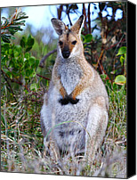 Wallaby Canvas Prints - Wallaby Canvas Print by Andrew McInnes