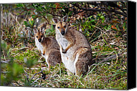 Wallaby Canvas Prints - Wallaby pair Canvas Print by Andrew McInnes