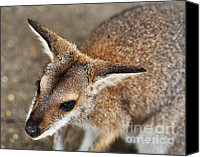 Joey Canvas Prints - Wallaby Portrait Canvas Print by Kaye Menner