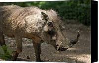 Henry Doorly Zoo Canvas Prints - Warthog At The Omaha Zoo Canvas Print by Joel Sartore