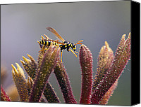 Kangaroo Canvas Prints - Waspage in the Kangaroo Paw Canvas Print by Joe Schofield