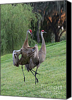 Sandhill Crane Canvas Prints - Watch Your Parents Canvas Print by Carol Groenen