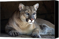 Lion Special Promotions - Watchful Cougar Canvas Print by John Van Decker