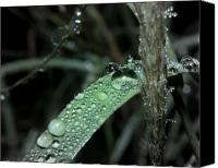 Raining Canvas Prints - Water Drops on Grass Canvas Print by Karen Musick