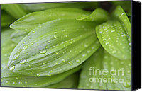 Alpine Canvas Prints - Water drops on green leaf Canvas Print by Matthias Hauser