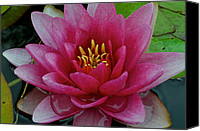 Lilly Pad Canvas Prints - Water Lilly Canvas Print by Robert Harmon