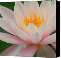 Lotus Art Canvas Prints - Water Lily II - Close up Canvas Print by Suzanne Gaff