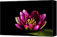 Water Lily Canvas Prints - Water Lily In Pond On Dark Background Canvas Print by Alexandre Fundone