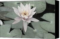 Black And White Digital Art Canvas Prints - Water Lily in Soft Pink Canvas Print by Suzanne Gaff
