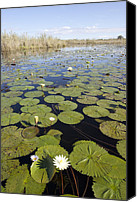 Lilly Pad Canvas Prints - Water Lily Nymphaea Sp Flowering Canvas Print by Matthias Breiter